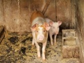 Vietnam culls 1.2 mn pigs over African swine fever outbreak